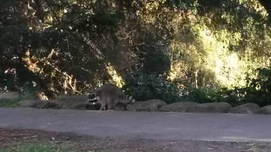 Raccoon in GGP